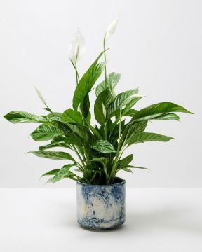 Peace Lily In Blue Fractured Plant Pot