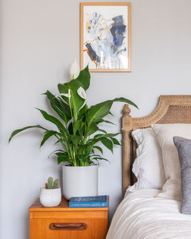 Peace Lily lifestyle
