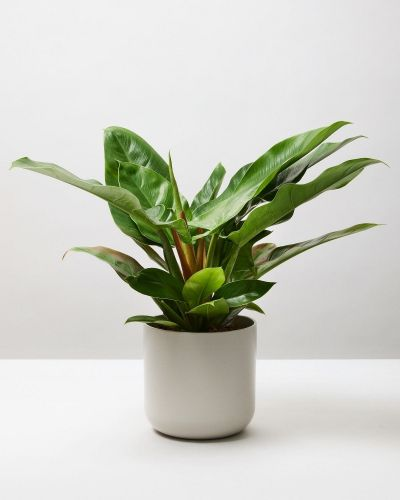 Philodendron Imperial Green 1