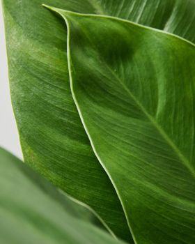 Philodendron Imperial Green 2
