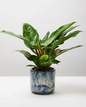 Philodendron Imperial Green 4