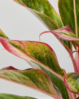 Red Chinese Evergreen 3
