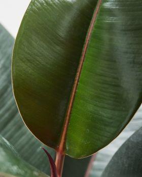 Rubber Plant Abidjan 2
