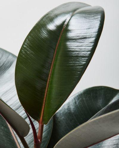 Rubber Plant Abidjan 3