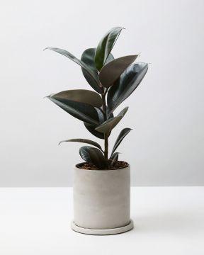 Rubber Plant Abidjan 1