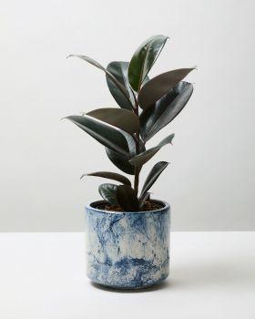 Rubber Plant Abidjan 4