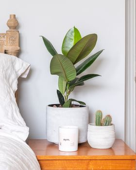 Rubber plant lifestyle 2