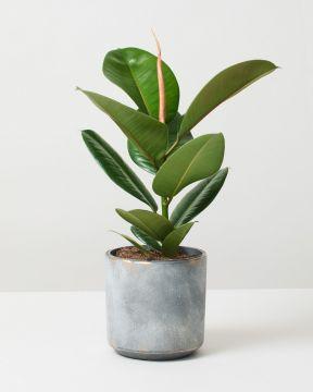 Rubber Plant Robusta In Tivoli Earth Plant Pot