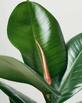 Resize Ficus Robusta 3933