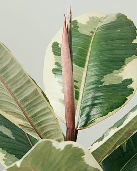 Resize Ficus Tineke 3973