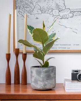 Ficus Tineke x Tivoli Earth Planter