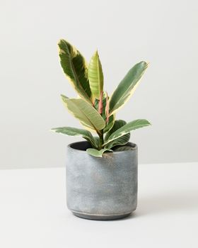 Rubber Plant Tineke