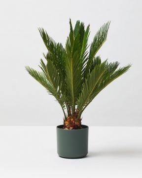 Sago Palm 1