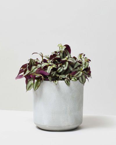 Silver Inch Plant 0090 V2