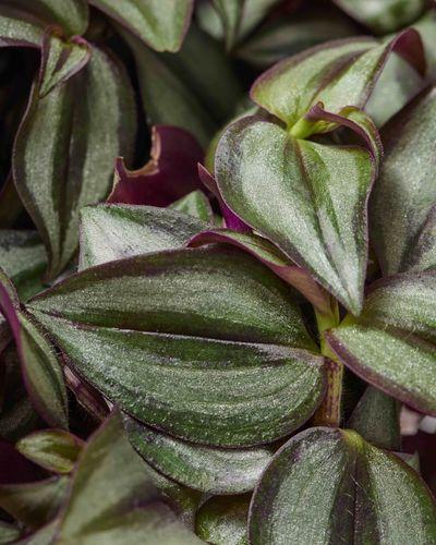 Silver Inch Plant 0593