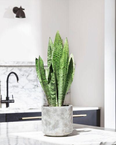 Snake Plant Zeylanica In Kitchen