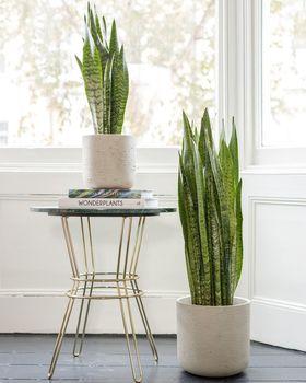Snake Plant Zeylanica In Dining Room