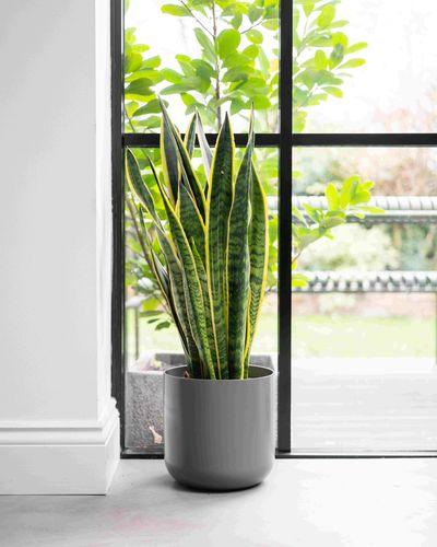 Snake plant laurentii by window