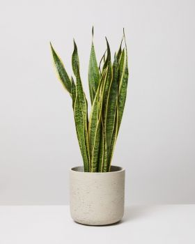 Snake Plant Laurentii  In Curved Fiberclay Stone Plant Pot
