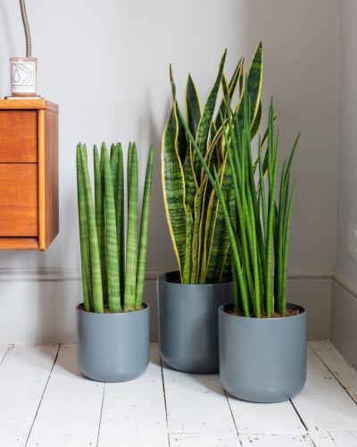Snake Plant Laurentii In Bedroom