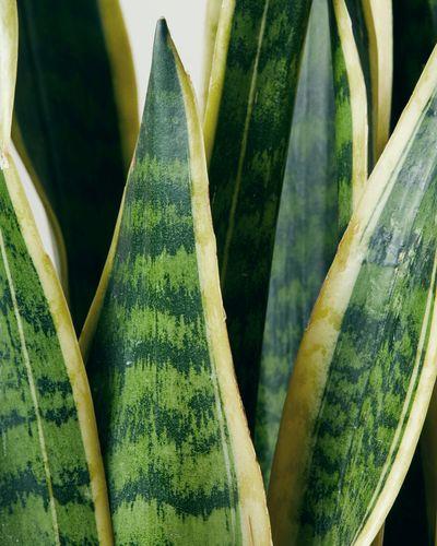 Snake Plant Close-Up