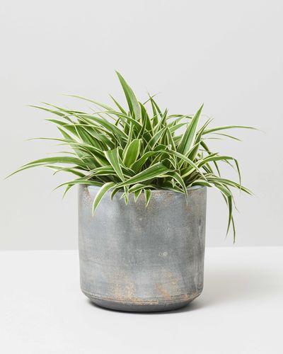 Spider Plant 0041 V3