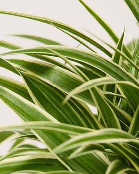 Spider Plant 0442