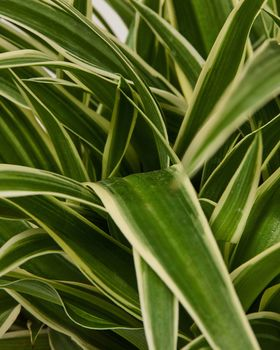 Spider Plant closeup 820