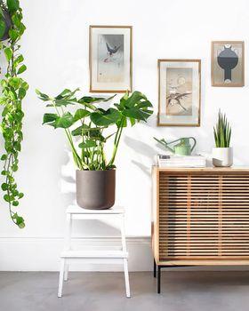 SWISS CHEESE PLANT 024