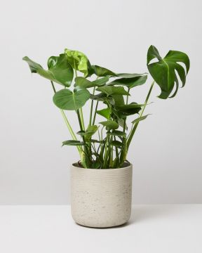 Swiss Cheese Plant In Curved Stone Fiberclay Pot
