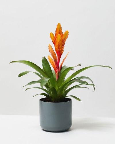 Vriesea Orange