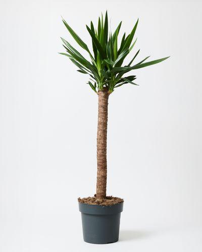 Yucca nursey pot