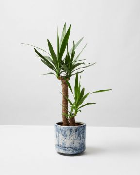 Yucca In Blue fractured Pot