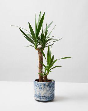 Yucca 4