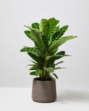 Calathea Zebra Plant in fibreclay charcoal pot