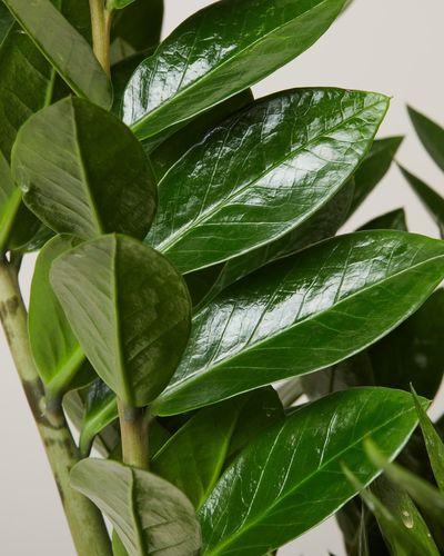 ZZ Plant 4005