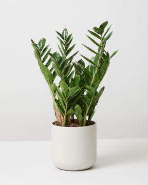 ZZ Plant In Soft Round White Plant Pot