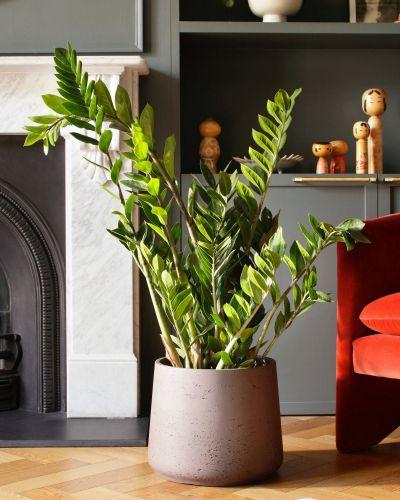 ZZ Plant In Curved Fiberclay Pot