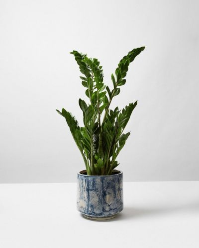 ZZ Plant In Blue Fractured Pot