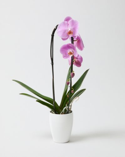 Orchid With Pot 0170