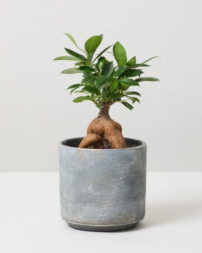 Bonsai Ficus Ginseng 1